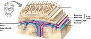 Name the meninges in order from superficial to deep